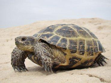 Продаем среднеазиатских черепах  в Бишкек