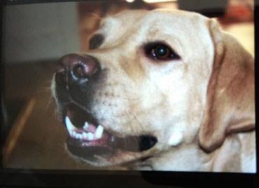 Чистокровный кобель на вязку. 2.5 года. Собака не продается. в Бишкек