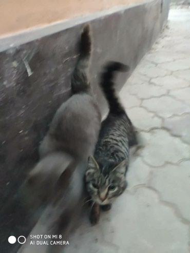 Отдадим 2 котов в хорошие руки, серый в Бишкек