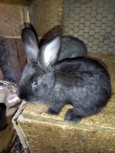 Продаю хороших кроликов с Ленинское. Крольчата - порода микс,1,5 мес