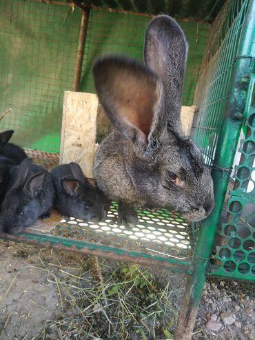 Декоративные кролики - Кыргызстан: Кролики,мама чистопородная,фландр,отец чистопородный нзб