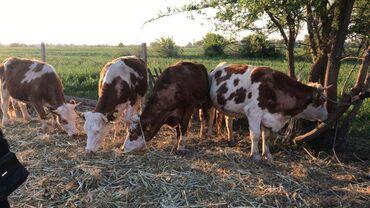 корова бишкек в Кыргызстан: Продаю | Корова (самка) | Герефорд | Для разведения