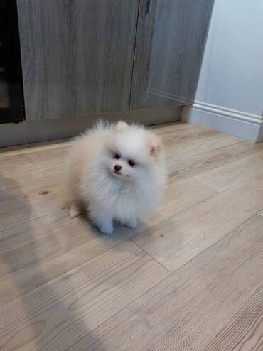 Διαθέσιμα όμορφα κουτάβια Pomeranian Έχουμε 5 όμορφους Πομερανούς που