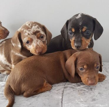 Dachshund puppies available for rehoming both genders available