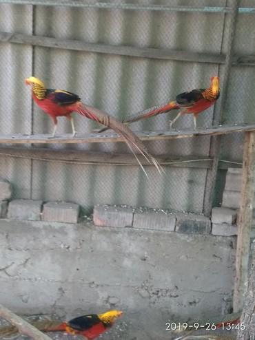 Поменяюсь петушками золотого фазана, (для смены крови) возраст 2 года