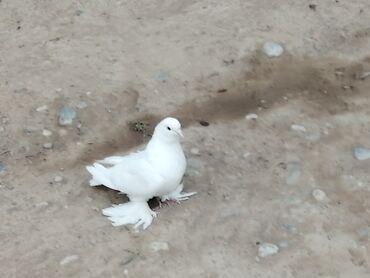 22 объявлений: Чисто красивый голубей