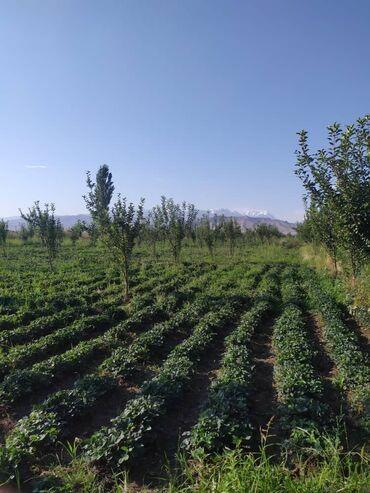 Другие специальности в Кыргызстан: Клубника кергенге кыздар балдар керек