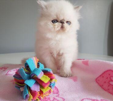 Mačke | Srbija: Razigrani lijepi perzijski mačići Mama i tata puni su rodovski perzijc