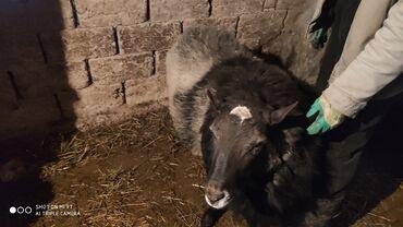 Бараны романовской породы - Кыргызстан: Продаю | Овца (самка), Баран (самец) | Романовская | Для разведения | Осеменитель, Матка