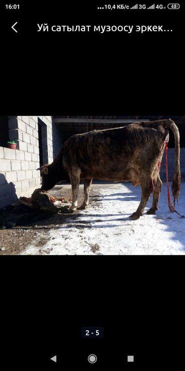 белые наушники без проводов в Кыргызстан: Продается карова с теленком (бычок) 20-22 л. Молоко дает. Сегодня