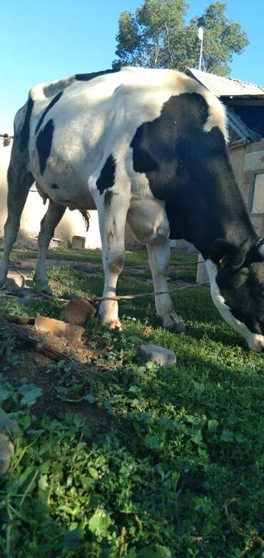 Животные - Кочкор: Коровы, быки