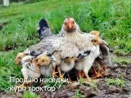 Продаю наседки, күрп тооктор. Все карликовые куры. в Бишкек