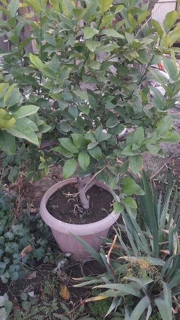 Комнатные растения в Кок-Ой: Продаю плодоностное дерево лимона