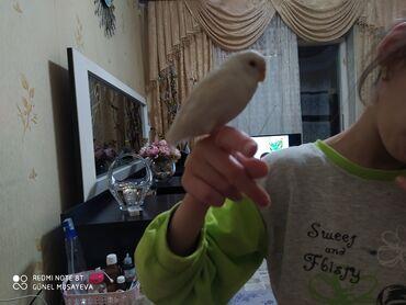 askı - Azərbaycan: 5ayliq bala qusdur,danişir,aşkim,cici kuş,babacik deyir,qefes icinde