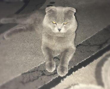 Ищет невесту кот Шотландской породы. Скотиш фолд. Голубой окрас. Мы н