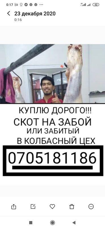 животн в Кыргызстан: Куплю скот в колбасный цех и другие мясные цеха, в любой упитанности в