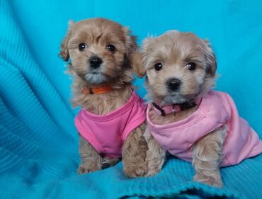 Maltipoo puppies Ready Now we have male and female Maltipoo puppies