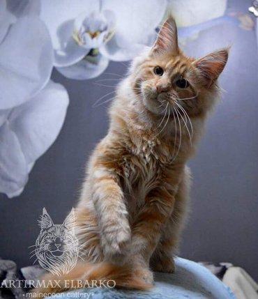 Продается котенок Мэйн Кун. Возраст 6 месяцев. в Лебединовка