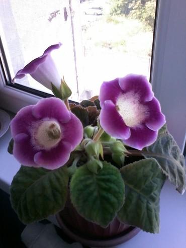 цветы комнатные молочай в Кыргызстан: Цветок глаксинья, цвет фиолетовый, а внутри в крапинку, прошу 350 сом