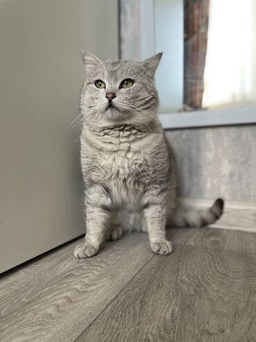 шотландский кот на вязку в Кыргызстан: Шотландский Кот на вязку. Шикарный котик Скоттиш страйт
