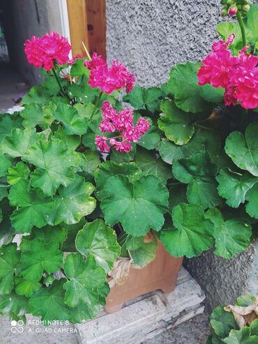 Otaq bitkiləri - Lənkəran: Bitkilerimiz gözəlliyi ilə yanaşı faydalı olmaqları ilə şöhrət