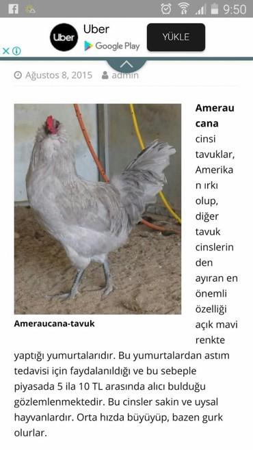 Животные в Сумгайыт: Mini Ferma . Amerekuana yashil yumurta. Yumurtasi 2.5 azn. Cucesi