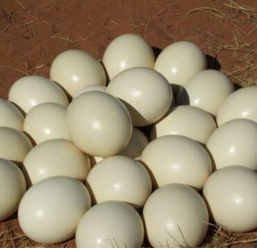 Inkubasiya. Qaz yumurtasinin inkubasiyasi. 80-85% cixmaq ehtimali.Her