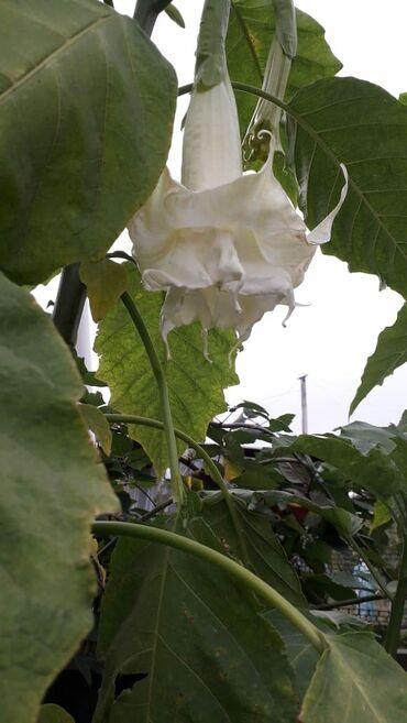 Семена и уличные растения - Кара-Балта: Кусты махровой бругмансии в г. Кара-Балта. Белая и розовая
