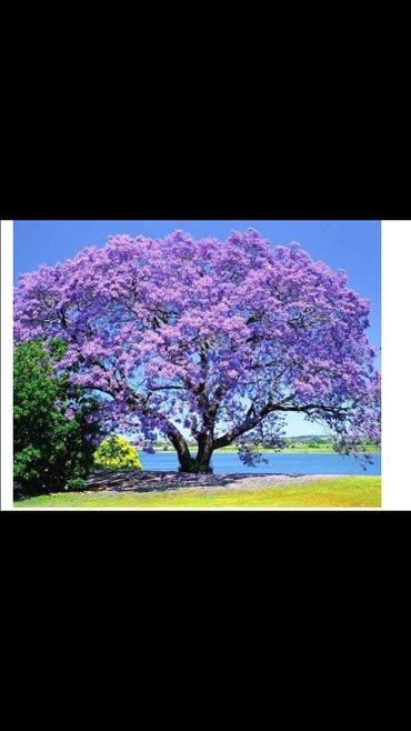 - Azərbaycan: Paulownia (adem agaci) hal hazirda var 2 illik ağaclardı uzunlugu 3