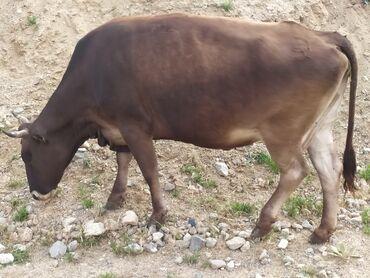 Животные - Тогуз Булак: Бооз уй .5тууту 5ай болду.Кысыр.Область Чуй.Ысык-Ата