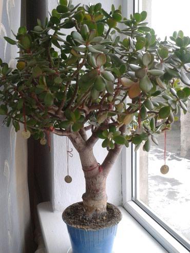 Денежное дерево - банзай. Возраст 9 лет. в Сокулук