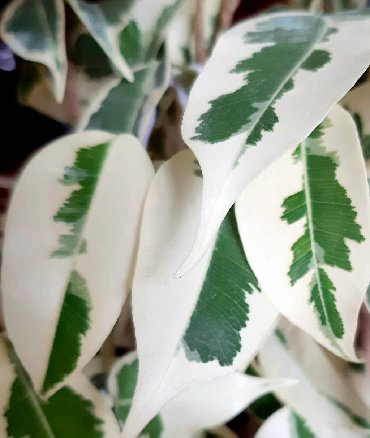 Продаю молоденькие растения пестролистных фикусов( старлайт,твилайт,г