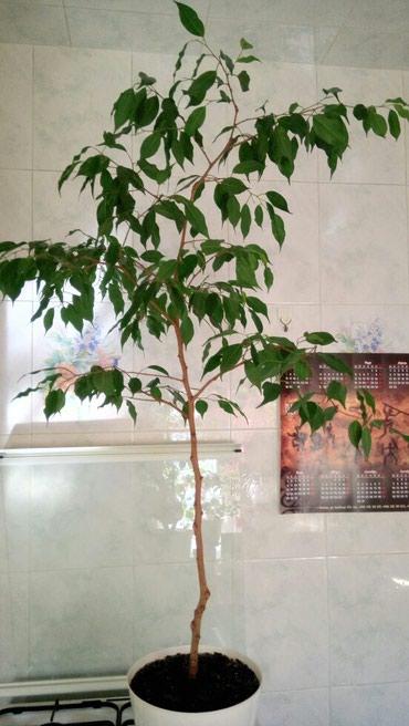 Фикус Бенжамина, взрослое растение в Бишкек