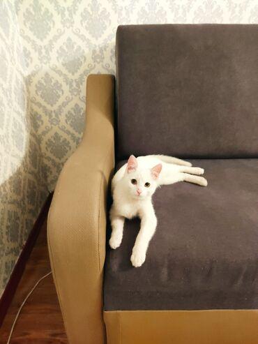 Ищем Кошку для вязки нашему Альбиносу Красавчику ! Забибикал уже, а