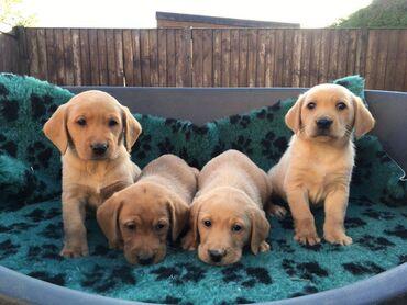 Ετοιμασμένα κουτάβια Labrador Retriever, εκπληκτική γνήσια