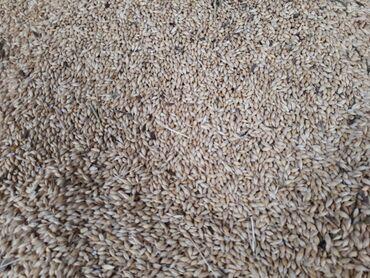Семена и уличные растения - Кара-Балта: Продаётся ячмень сорт мамлюк, количество 6 тон. Адрес Жайылский район