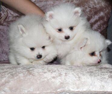 Όμορφα κουτάβια Pomeranian φλυτζανιών άσπρου τσαγιούΠανέμορφα αρσενικά