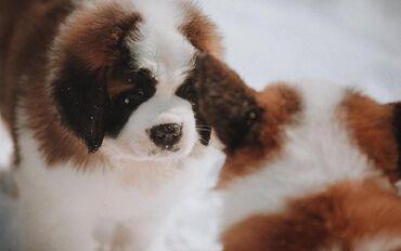 3772 объявлений: Продаются щенки Сенбернара (Бетховен) от титулованых родителей щенки