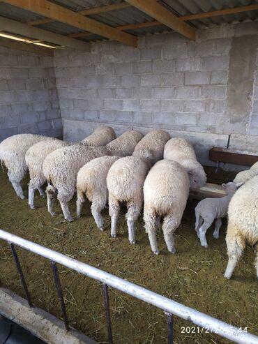 Продаю | Овца (самка) | Меринос | Для разведения, Для шерсти