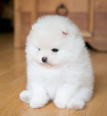 Υγιή κουτάβια Pomeranian διαθέσιμα τώραViber . (+ )Άριστης