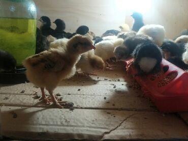Животные - Кыргызстан: Продаются цыплята домашних пород разных возрастов 5 дневные 65 сом