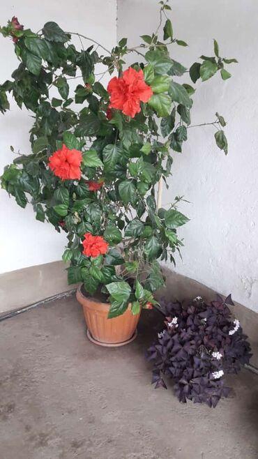 131 объявлений: Китайская роза 2 года большая