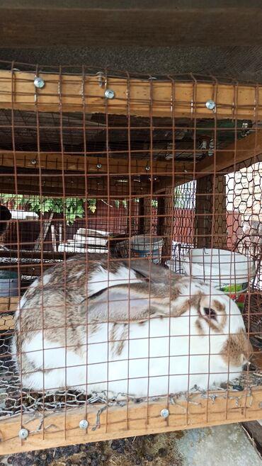 1125 объявлений: Кролики Бабочки две самки и один самец 7 месяцев