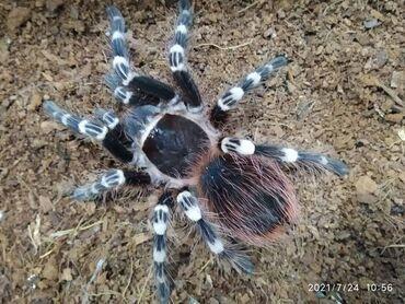 Животные - Каджи-Сай: Продам красивых и больших пауков-птицеедов. Все пауки примерно 9-10 ли