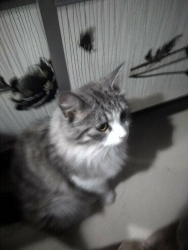 лоток для кошек бишкек in Кыргызстан | ЗООТОВАРЫ: Кошечка и кот в добрые руки. Очень умныеходят в лоток,едят сухой кор