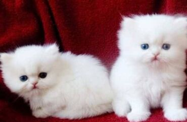 Περσικά γατάκια. Εμβολιάζονται πλήρως και ελέγχεται η υγεία τους . Ema