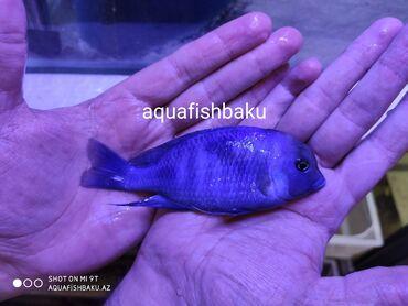 guppi baliqlari - Azərbaycan: Delfin balıqlarıSəkildəki delfinin balalarıdı ən az 10ədəd satılır.3sm