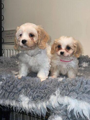 Pure Breed Bichon PupsΑυτά τα σκυλιά είναι φανταστικά αν εσείς ή ένα