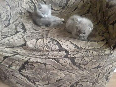 Продаю котят. Порода - британская короткошерстная. Родились - 20го