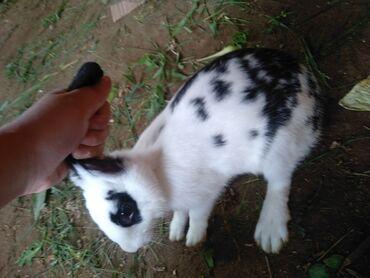 Животные - Тамчы: Продается кролики большие за 1000 оба маленьких за 250 одну всех за